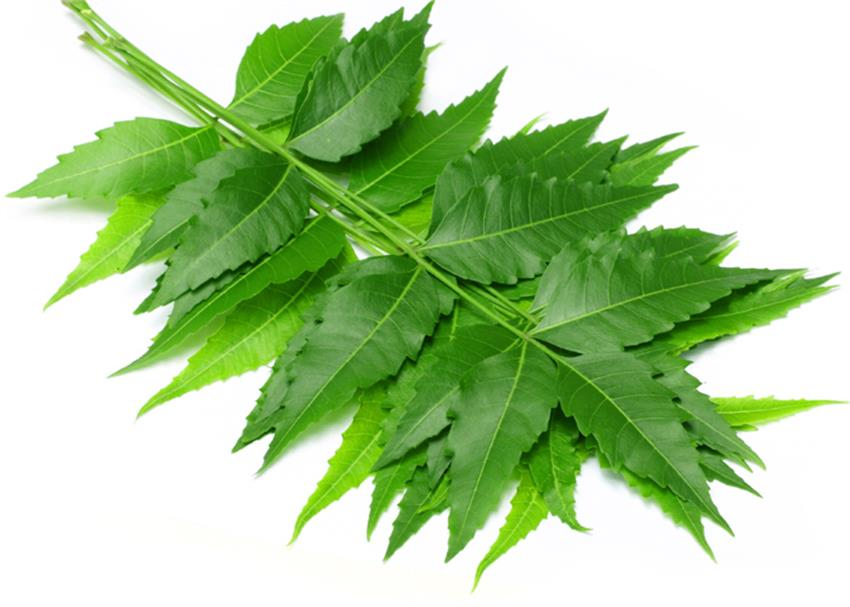 neem will fight corona in the form of datoon, neem oil and neem drink vbgunt
