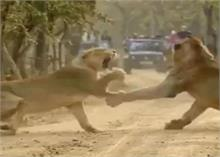 शेरनी की दहाड़ से डर कर भागा 'जंगल का राजा', वायरल हुआ वीडियो