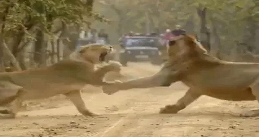viral video on social media lion fight with lioness djsgnt