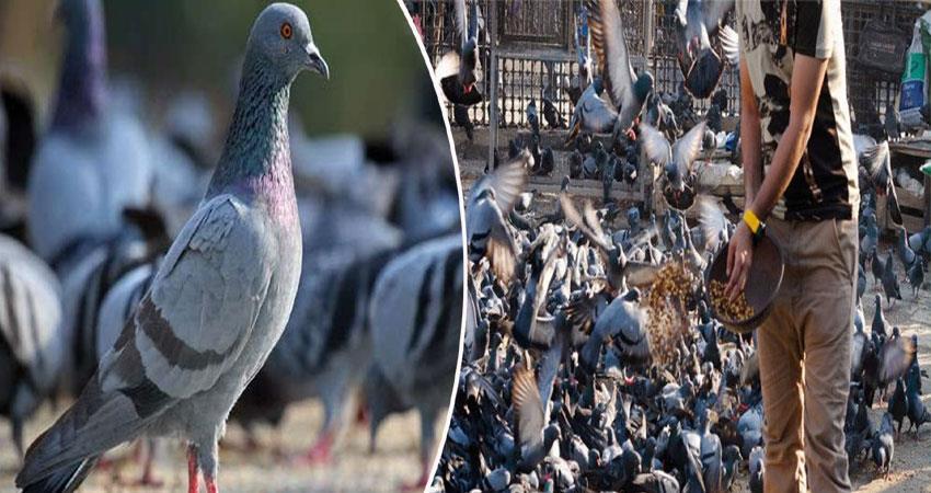 coronavirus lockdown two persons arrested for locking pigeons nizamuddin pragnt
