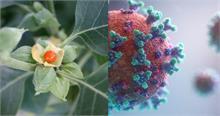 Coronavirus की दवा हो सकती है अश्वगंधा, IIT दिल्ली ने किया शोध