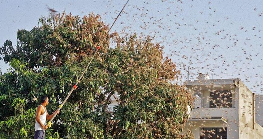 Locust party attack in many districts of UP farmers are showing promptness prshnt