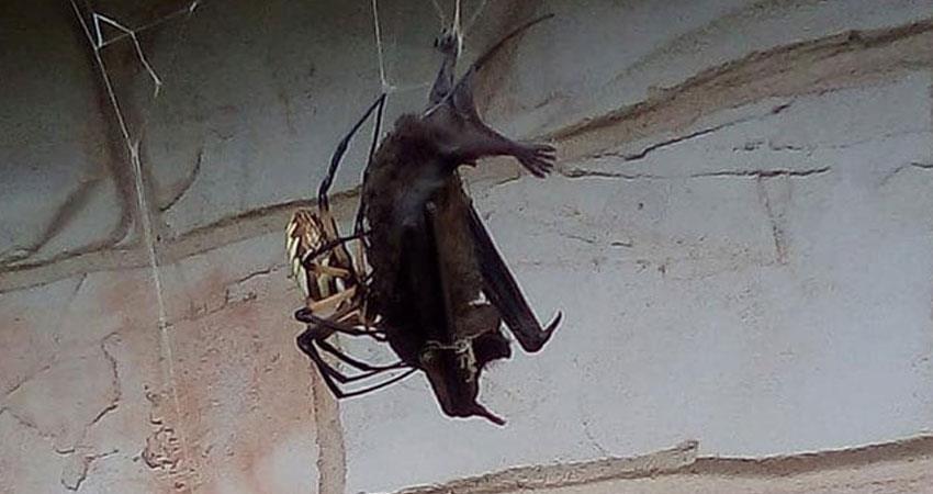 spider hunting big bat video viral
