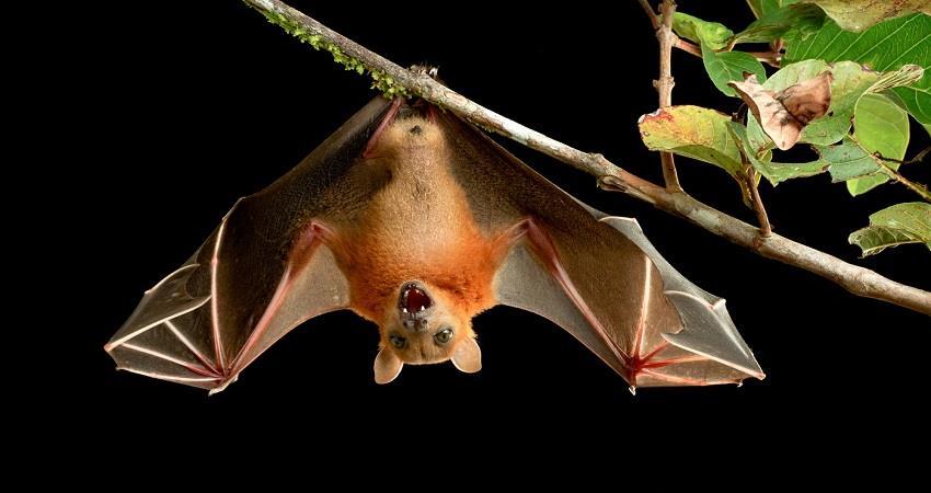 more than 500 dangerous viruses like corona are found in bat prsgnt