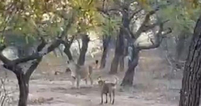see the courage of this dog who clashed with a lioness in the video anjnst