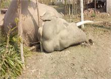 खेत में गन्ना खाने गए हाथी को लगा करंट, मौत