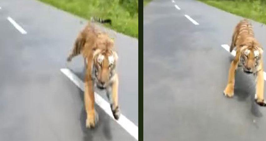 tiger chasing biker in kerala waynad see the viral video