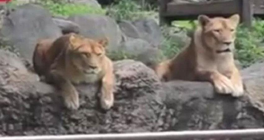 lion-capturing-mock-drill-video-from-japan-goes-viral