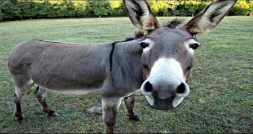 donkeys-being-slaughtered-for-traditional-chinese-medicine-prsgnt