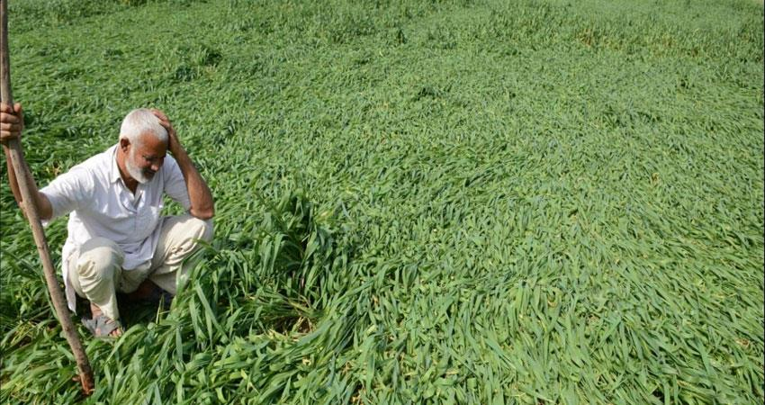 mathura-uttar-pradesh-crop-destroy-due-to-fake-seeds-in-bjp-yogi-government