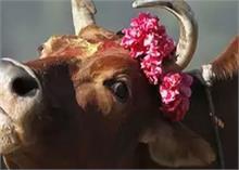 हिमाचल प्रदेश में हुई केरल जैसी घटना, गाय को खिलाया विस्फोटक पदार्थ, उड़ा जबड़ा