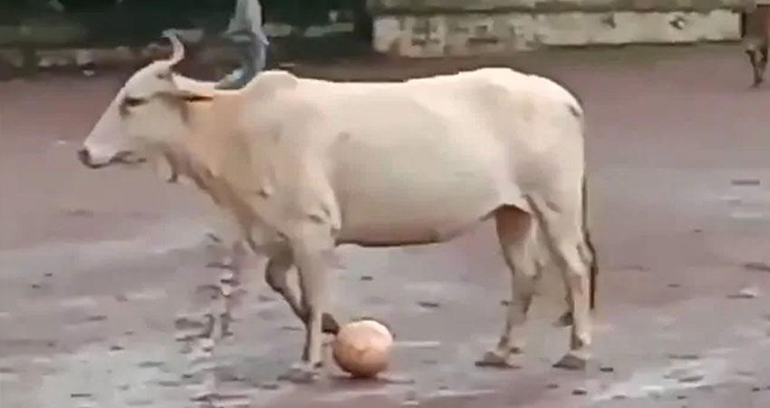 cow playing football as like professional player see the viral video