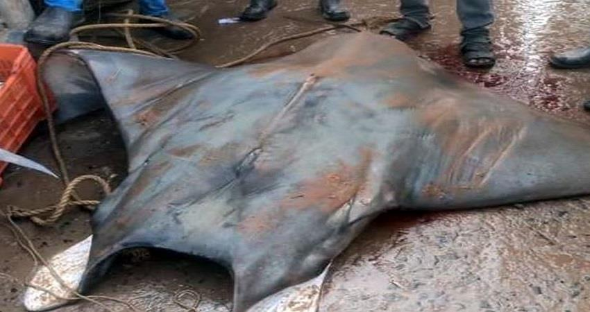 rare-fish-of-around-800-kg-found-rs-20-lakh-digha-west-bengal-prsgnt