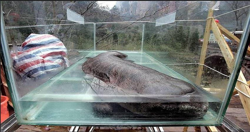 chinese-eat-giant-salamander-as-delicacy-and-medicine-prsgnt