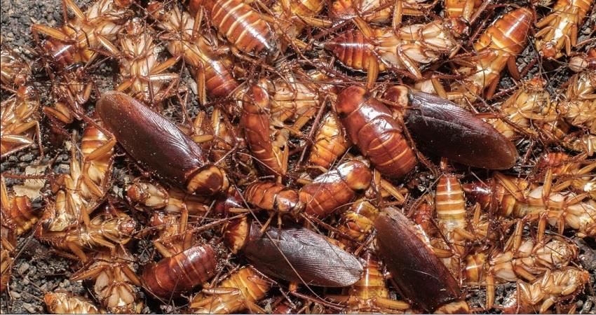 cockroach-farming-practice-in-china-for-medicinal-purpose-prsgnt