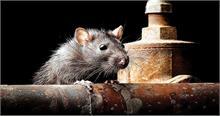 चूहों से फैलने वाली जानलेवा बीमारी का हुआ खुलासा, अब तक 11 मामले आए सामने