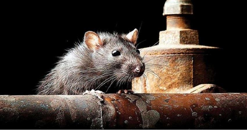 new-cases-found-of-hepatitis-from-rats-in-hong-kong-prsgnt