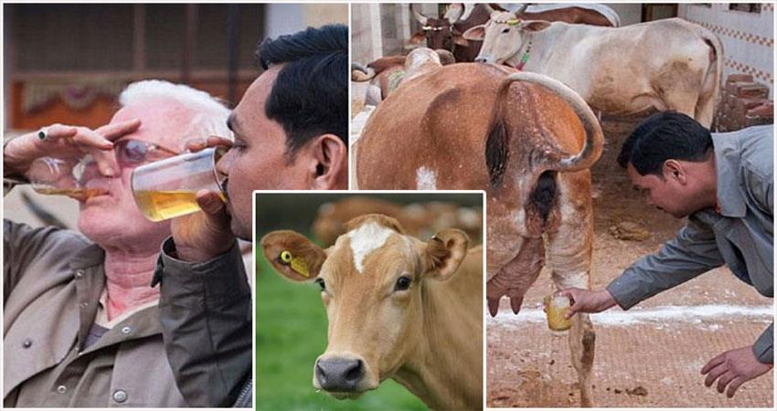 cow urine gomutra health benefits corona virus india