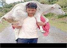 देहरादून: युवक ने पेश की मिसाल, बछिया को कंधे पर ढोकर पहुंचाया अस्पताल