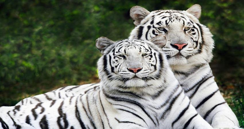 world tiger day- prime minister expressed happiness on the number of tigers growing in india