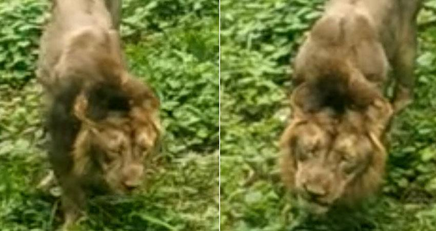 lion eating grass video goes viral