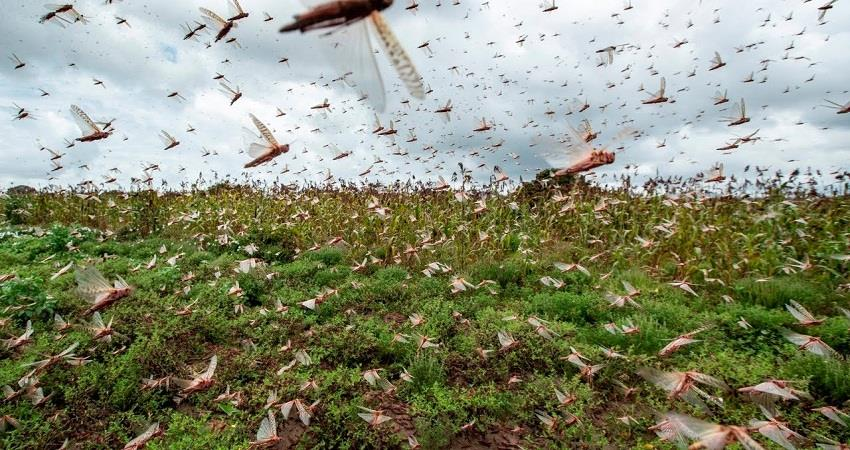 even before this there have been locusts attacks in the country capital delhi sohsnt