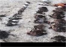 राजस्थान: बर्ड फ्लू नहीं, इस वजह से हुई सांभर झील में पक्षियों की मौत, जानें
