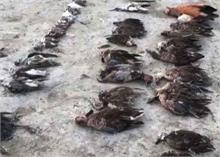 राजस्थान: सांभर झील में आठ दिनों में लगभग 17000 प्रवासी पक्षियों की मौत