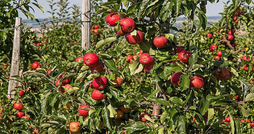 himachal-government-seeks-report-on-loss-of-apple-crop-from-hail