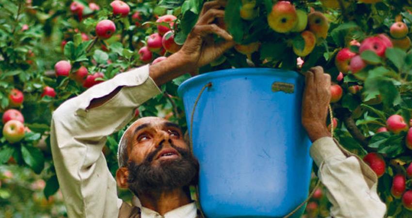 kashmir apples farmers aikscc not happy with modi govt nafed role